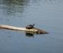 Schnappschildkröte?