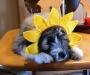 Duke Sonnenblume
